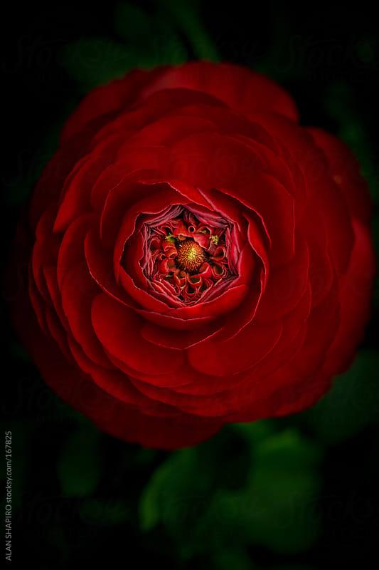 Red Ranunculus by ALAN SHAPIRO for Stocksy United