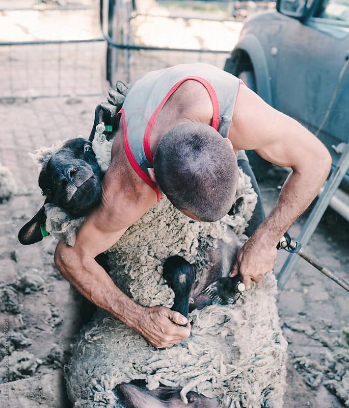 ewe smiling to camera as sheep shearer begins by Gillian Vann for Stocksy United