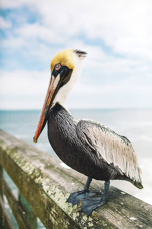pelican on an ocean pier  by Kelly Knox for Stocksy United