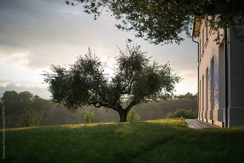 large olive tree by Tommaso Tuzj for Stocksy United