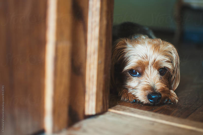 A dog waiting by the door by Chelsea Victoria for Stocksy United