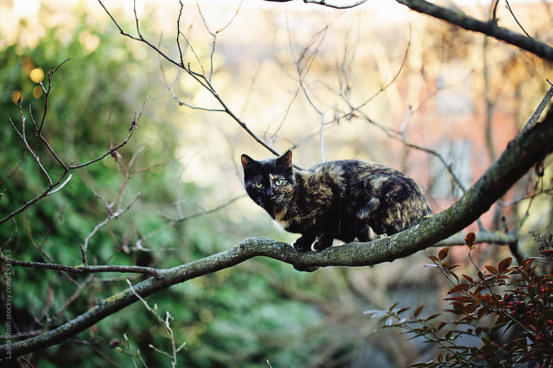 Calico cat on tree branch looks straight at the camera by Laura Stolfi for Stocksy United