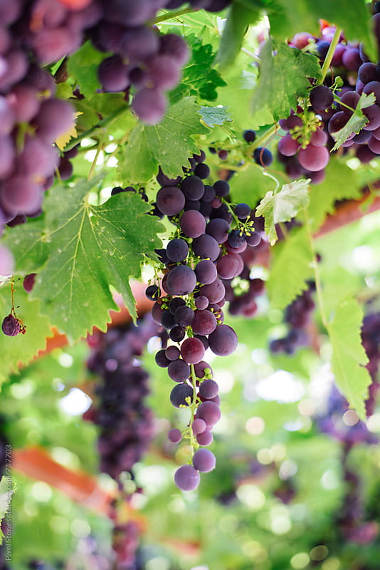 Grapes on vine by Pixel Stories for Stocksy United