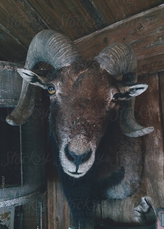 A dead stuffed ram head mounted on a wall in a barn by Greg Schmigel for Stocksy United