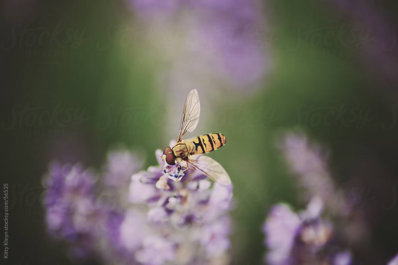 Hoverfly by Kitty Gallannaugh for Stocksy United