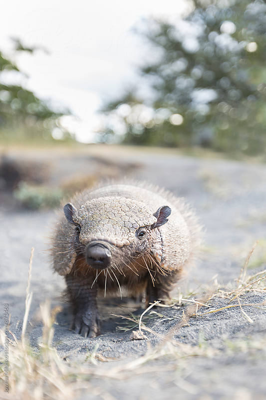Portrait of Andean hairy armadillo in the wild by Jovana Milanko for Stocksy United