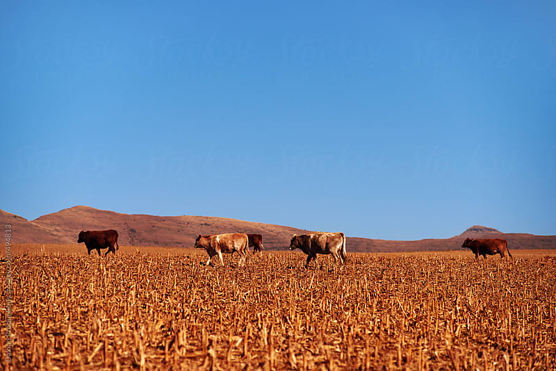 cattle drought by Daxiao Productions for Stocksy United