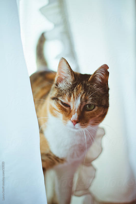 Cat peering out from white curtains on windowsill and looking straight at the camera by Laura Stolfi for Stocksy United