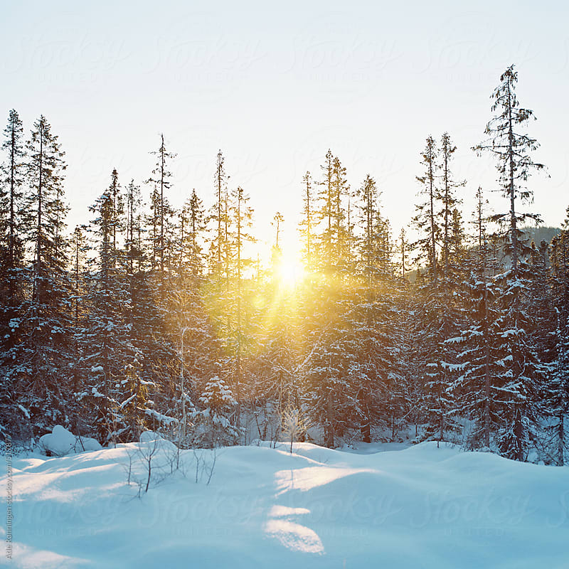 Low sun trough the trees just after snow fall by Atle Rønningen for Stocksy United