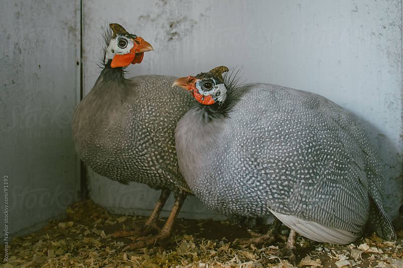 Pair of Guinea Fowl by Rowena Naylor for Stocksy United