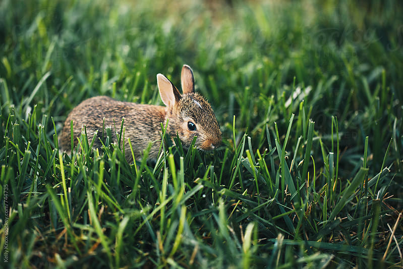 baby rabbit in the grass by Kelly Knox for Stocksy United