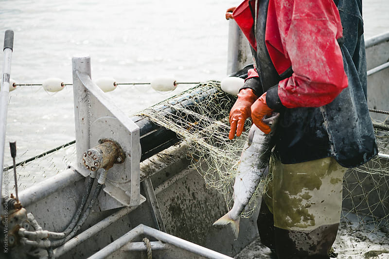 Commercial Fisherman taking salmon out of the net by Kristine Weilert for Stocksy United