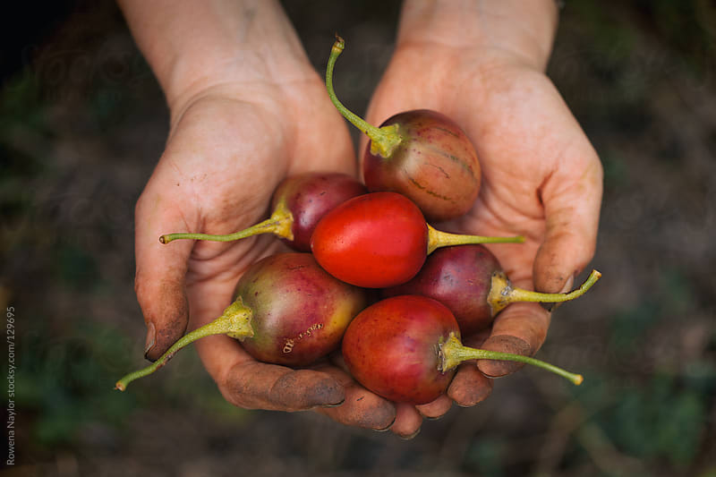 Farmer holding Tamarillo Fruits Just Harvested by Rowena Naylor for Stocksy United
