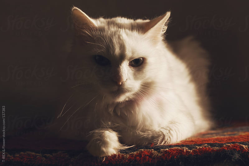white cat in the sun by T-REX & Flower for Stocksy United