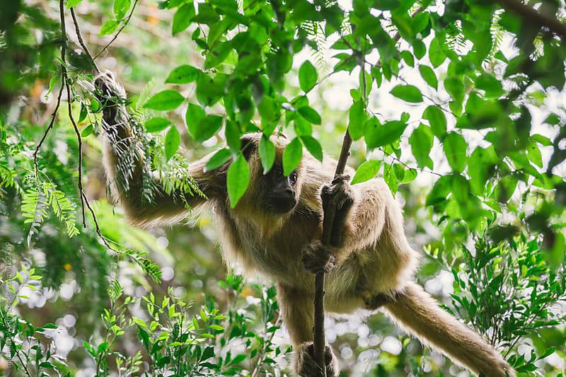 Howler monkey by michela ravasio for Stocksy United