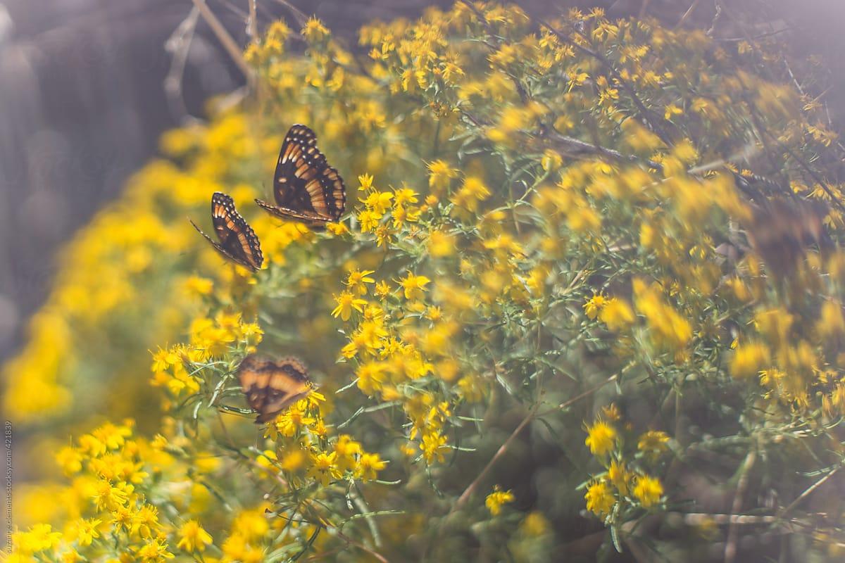 California Patch Butterfly On Yellow Arizona Brittlebrush Flowers