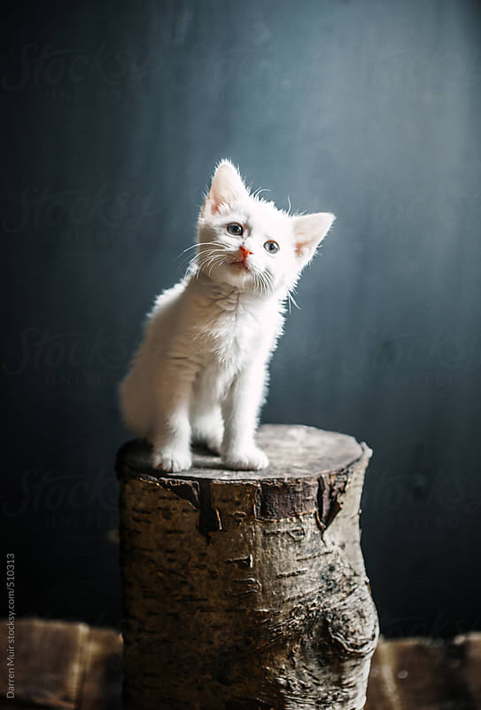 Kitten on scratch post. by Darren Muir for Stocksy United