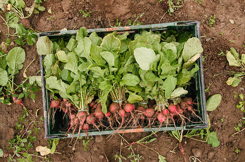 freshly harvested radishes in a crate in the field by Deirdre Malfatto for Stocksy United