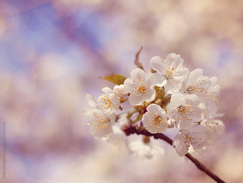 Cherry Blossom by Helen Rushbrook for Stocksy United