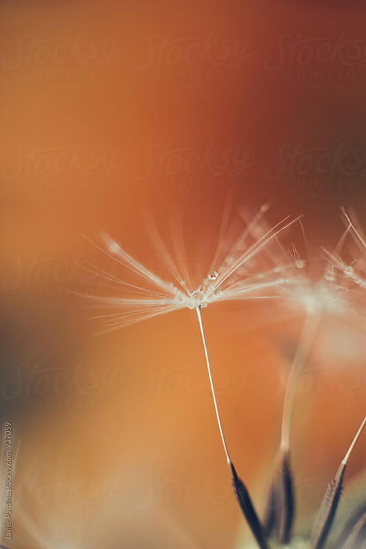 Drops on the dandelion by Javier Pardina for Stocksy United