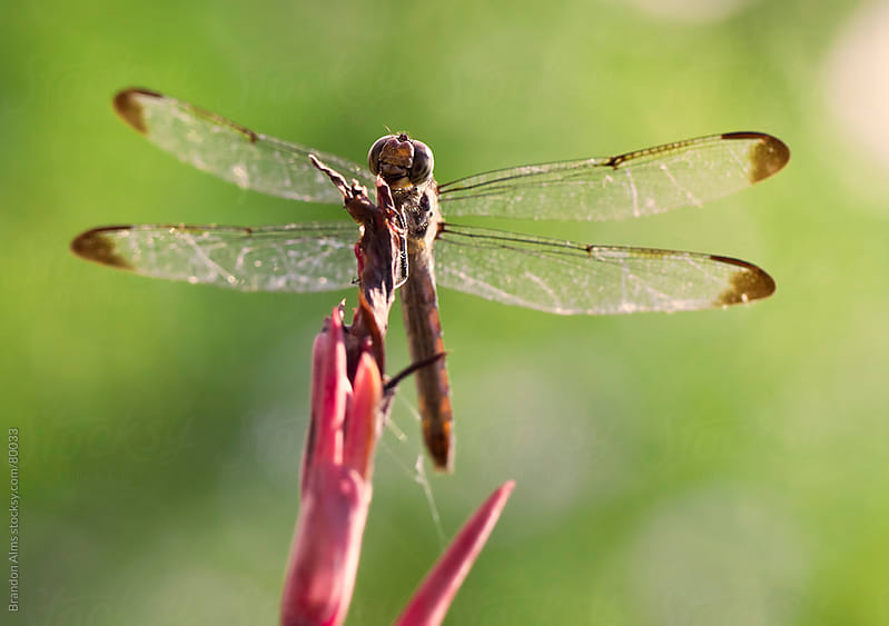 Dragonfly Macro On Top Of A Flowering Plant by Brandon Alms for Stocksy United