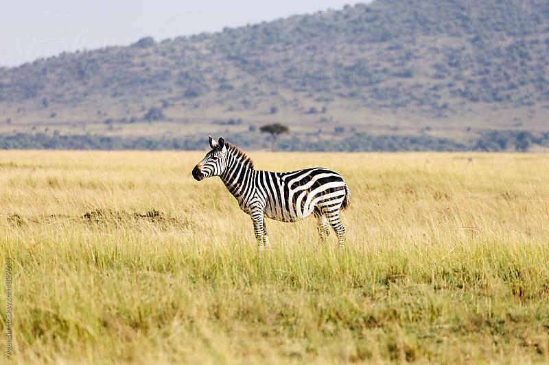 Zebra by Agencia for Stocksy United