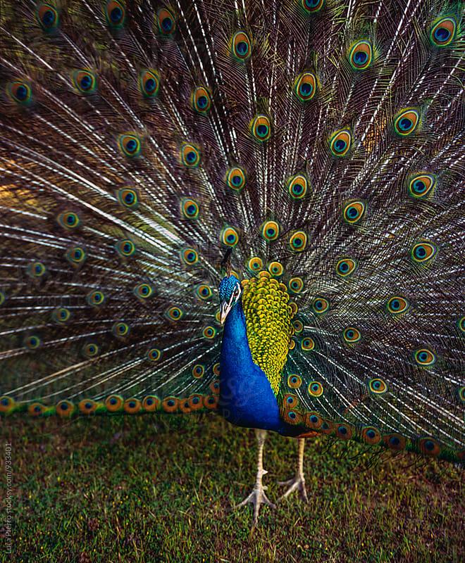 Peacock's wheel  by Luca Pierro for Stocksy United