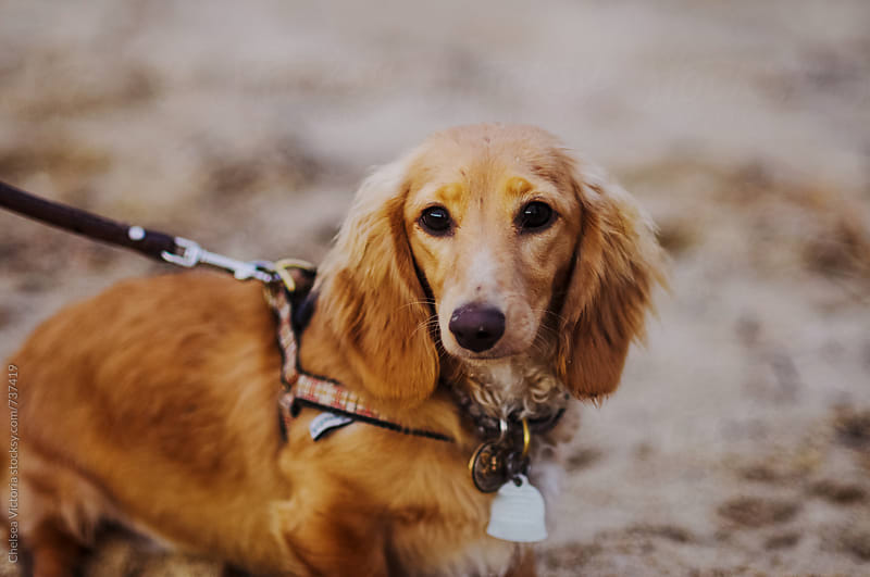 A dachshund sitting on the beach by Chelsea Victoria for Stocksy United