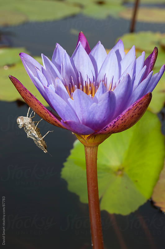 Dragonfly exuvia on a waterlily flower by David Smart for Stocksy United