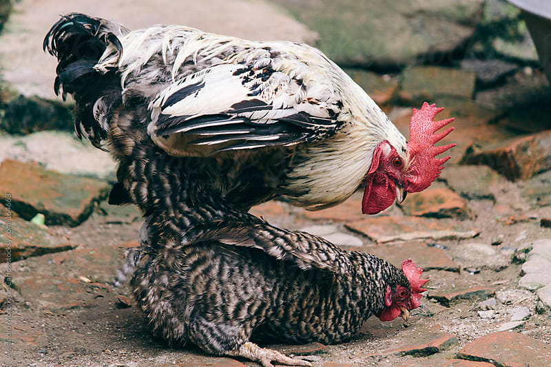 Rooster and chicken hen mating by Alejandro Moreno de Carlos for Stocksy United