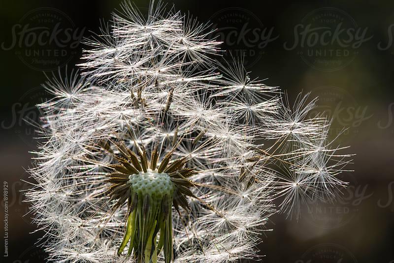 White seed of dandelion under sunlight by Lawren Lu for Stocksy United