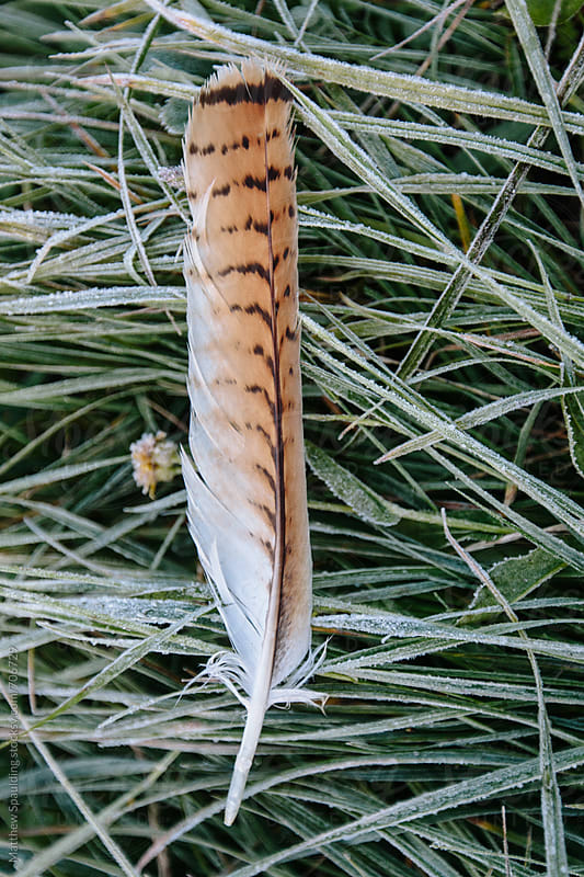 Fallen feather resting on frosty grass by Matthew Spaulding for Stocksy United