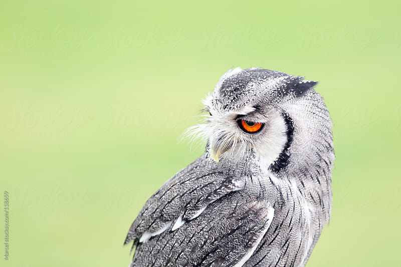 Northern White-faced Owl by Marcel for Stocksy United