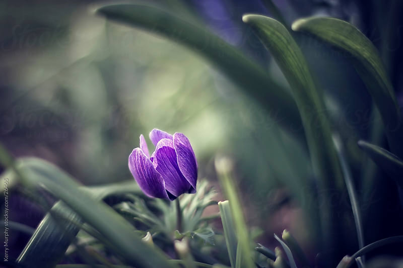 Macro of purple flower by Kerry Murphy for Stocksy United