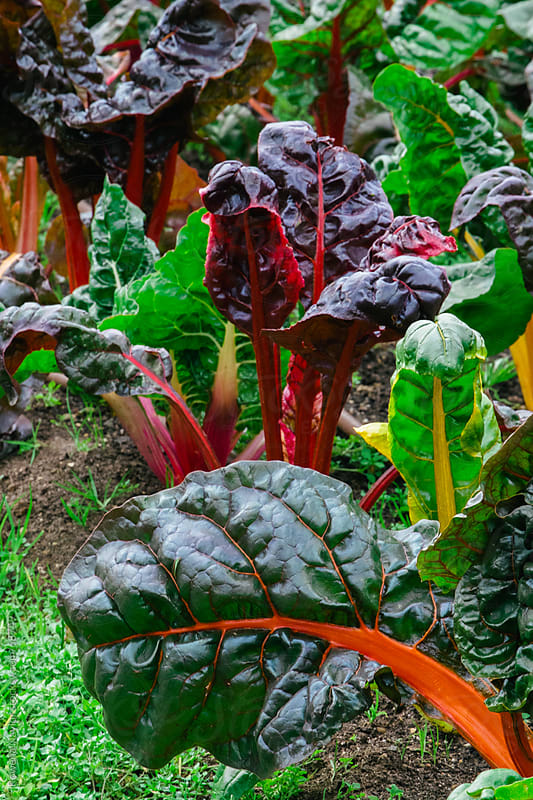 Organic Swiss Chard by Rowena Naylor for Stocksy United