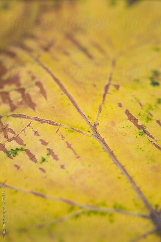Golden leave background by zheng long for Stocksy United