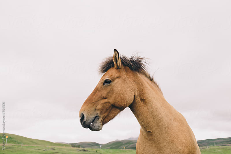 Icelandic horse by Gabriel Tichy for Stocksy United
