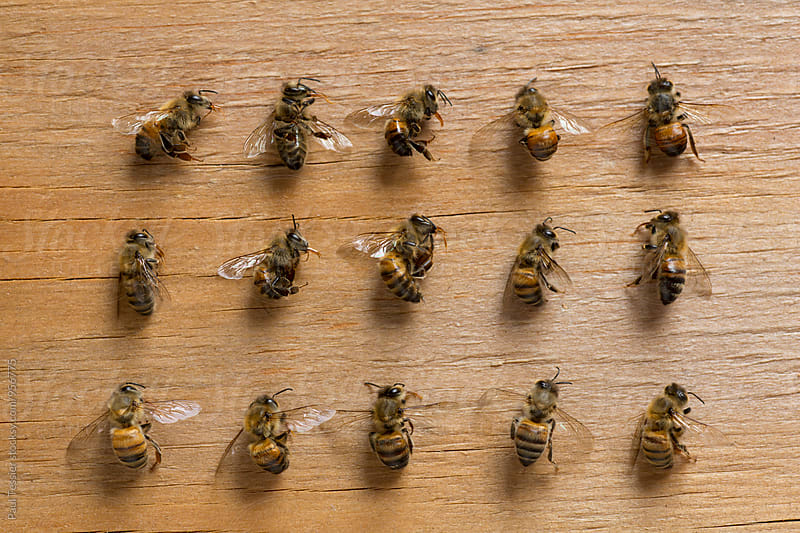 Deceased Honey Bees by Paul Tessier for Stocksy United