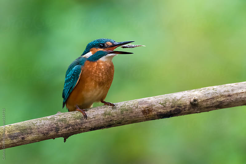 Kingfisher by Gabriel Ozon for Stocksy United