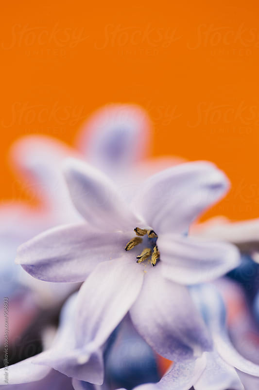 Macro of lilac petal on orange background. by Amir Kaljikovic for Stocksy United