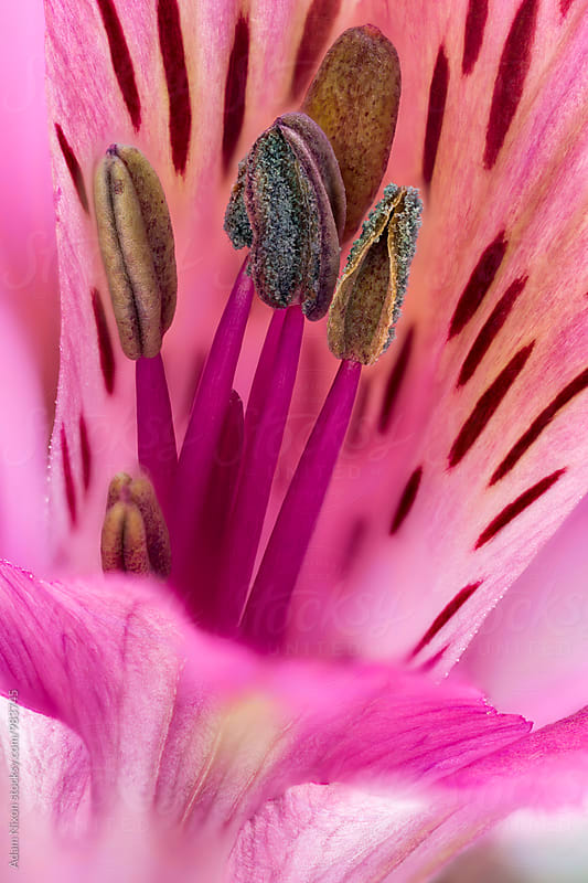 Purple Alstroemeria, macro by Adam Nixon for Stocksy United