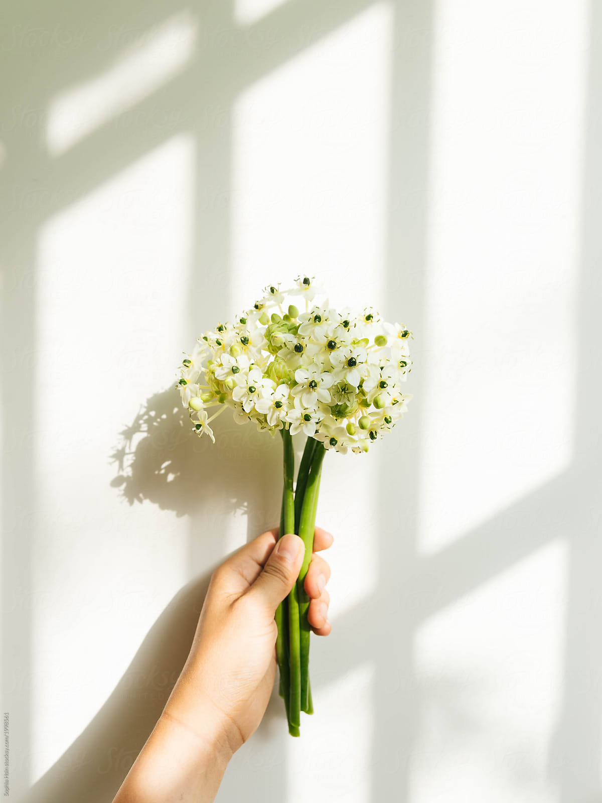 Hand Holding White Flowers With Green Stem In Natural Light