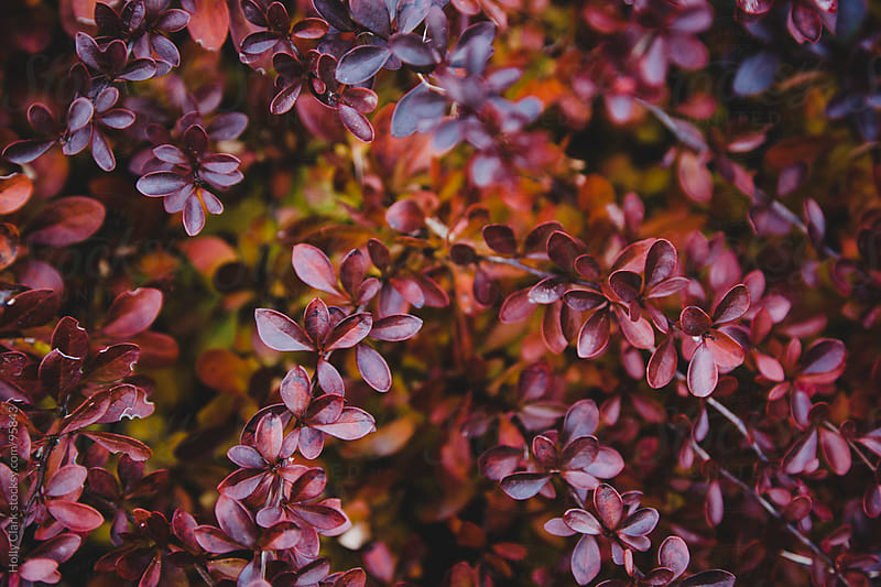 Beautiful red leaves on a bush in autumn. by Holly Clark for Stocksy United