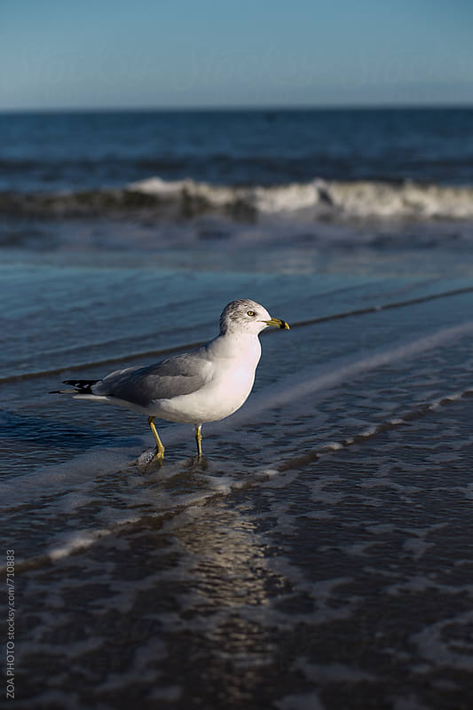 Seagull by ZOA PHOTO for Stocksy United