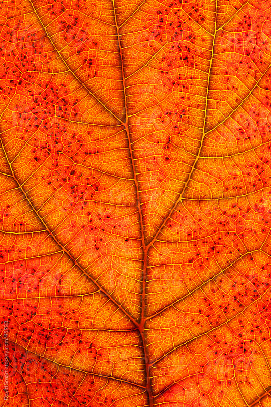 Autumn leaf detail showing veins by David Smart for Stocksy United