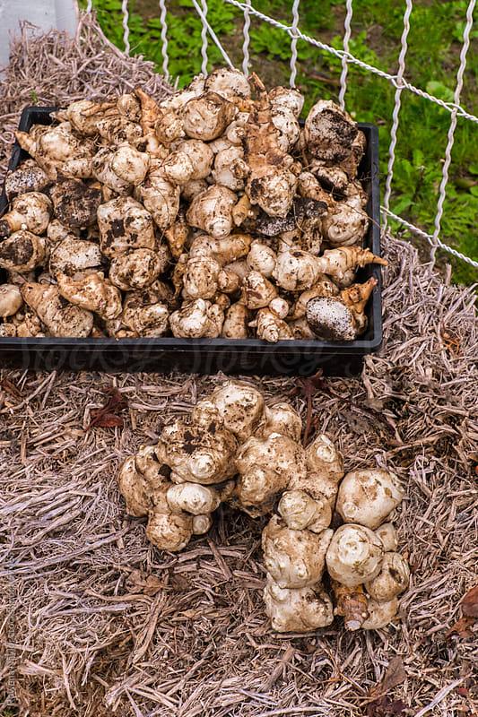 Organic Jerusalem Artichokes by Rowena Naylor for Stocksy United