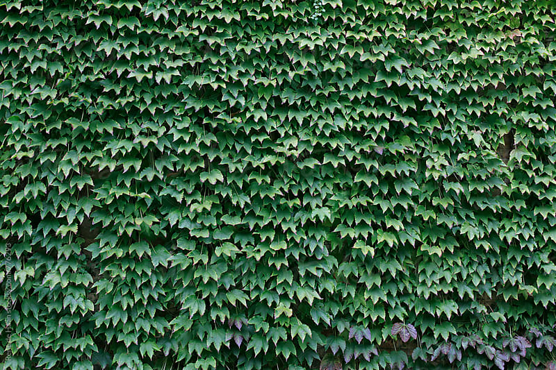 wall covered by ivy by Rene de Haan for Stocksy United