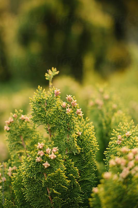 Closeup of evergreen bush by Gabriel Tichy for Stocksy United