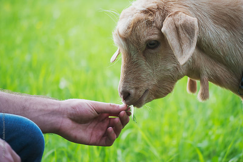 Person feeding young goat by Pixel Stories for Stocksy United