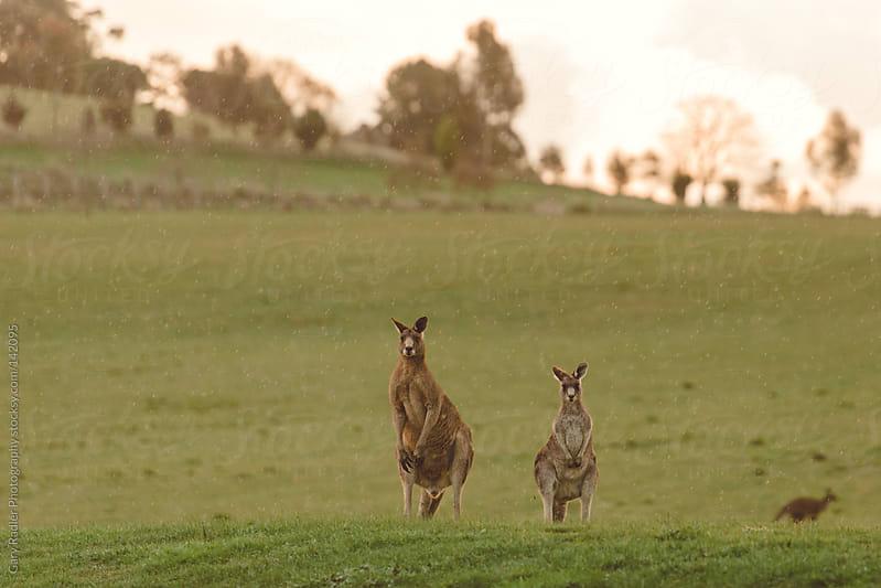 Kangaroos in the Rain by Gary Radler Photography for Stocksy United
